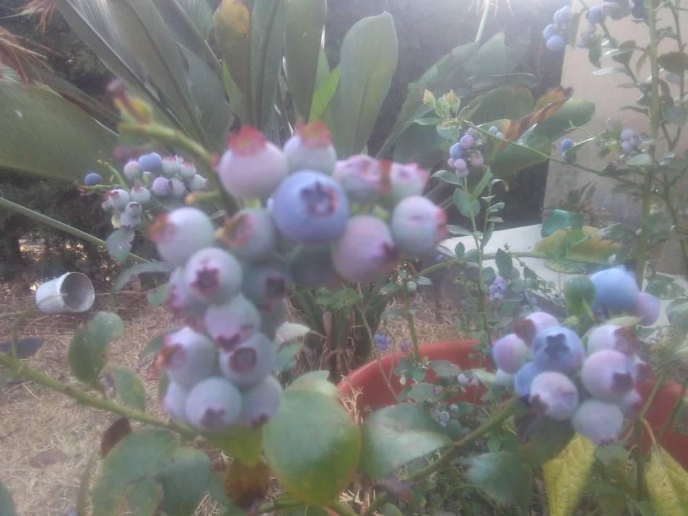 Blueberries grown in a pot
